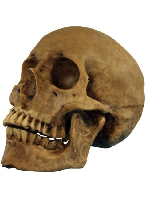 Cráneo de resina