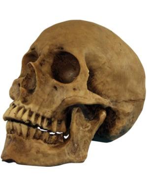 Crânio de resina